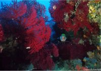 Croatia Diving: Red Gorgonian forest
