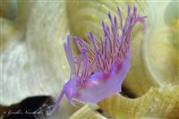 Croatia Diving: Purple Nudibranch