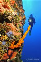 Croatia Diving: Diver on wall with yellow sponges