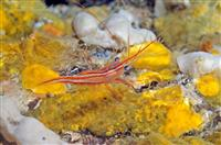 Croatia Diving: Cleaner shrimps