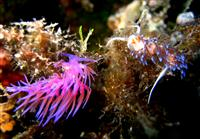 Croatia Diving: Nudibranch
