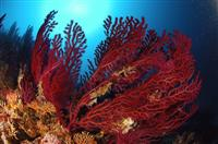 Croatia Divers: Red gorgonian