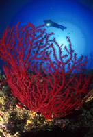 Croatia Diving: Red Gorgoania