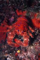 Croatia Diving: Lobster