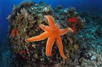 Croatia Diving: Seastar