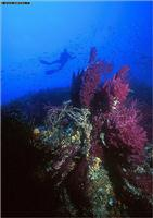 Croatia Diving: Reef with gorganian and sponges