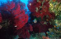Croatia Diving: Red Gorgonian forrest
