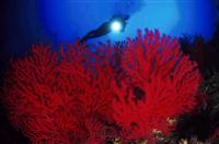 Croatia Diving: Red Gorgonian with diver